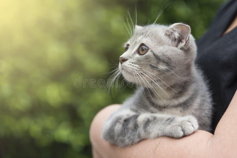 Cute Scottish kitten looking at sunset stock photos