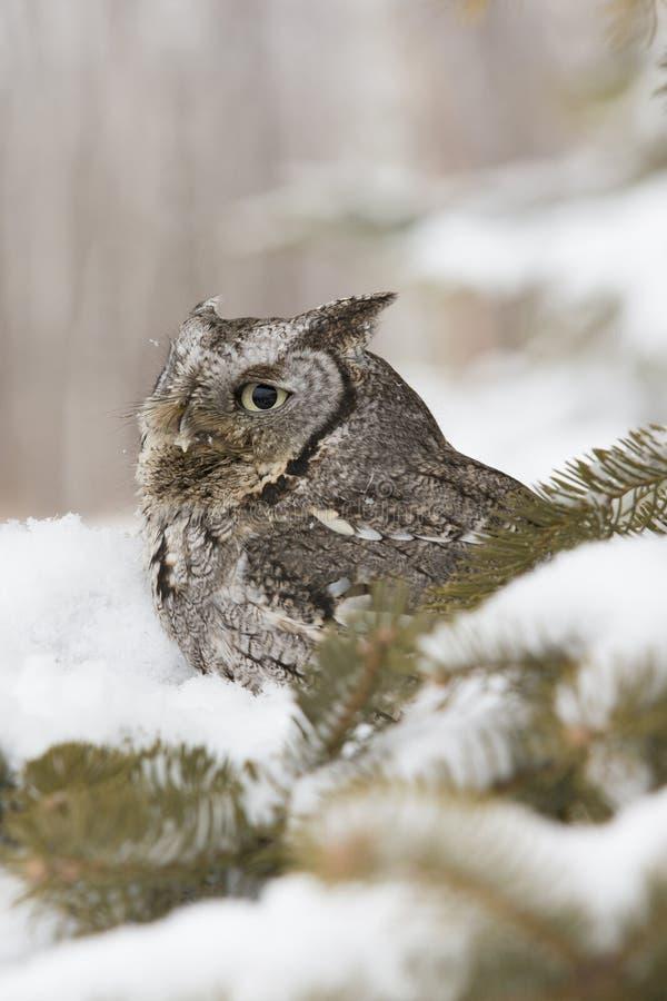 Cute screech owl stock images