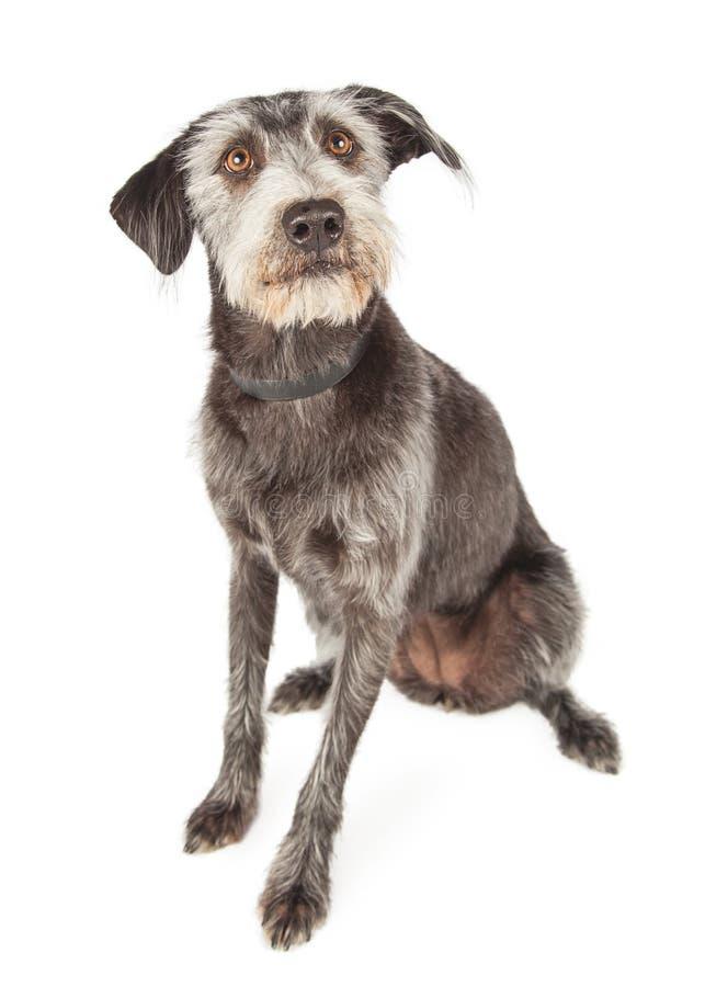 Cute Scruffy Large Mixed Breed Dog Sitting Stock Image