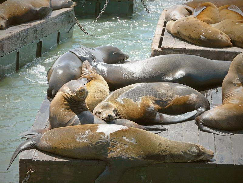 Cute sea lions spending their day taking a nap sunbathing on a sunny day on wooden platforms at Pier 39. Famous landmark in San Francisco, United States of royalty free stock photos