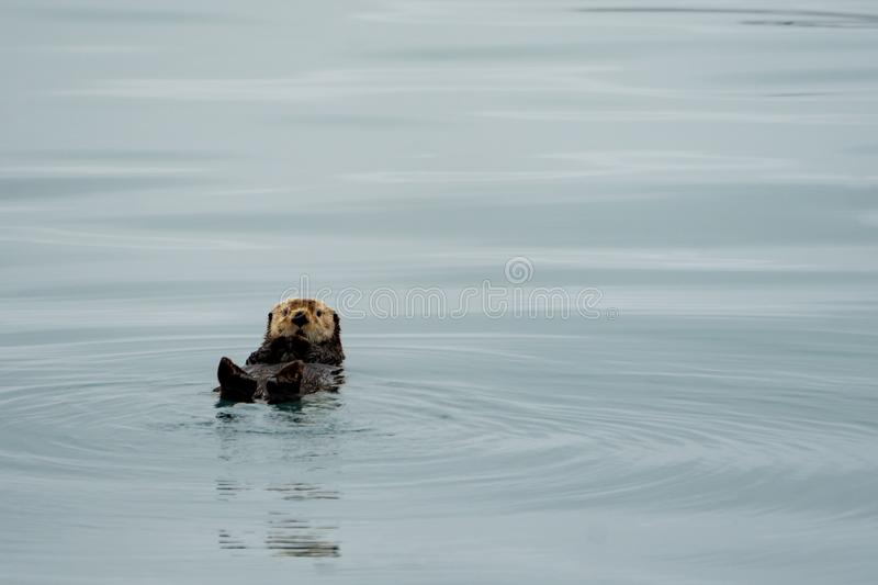 Cute sea otter floating on his back in teal water in Resurrection Bay in Kenai Fjords National Park royalty free stock image