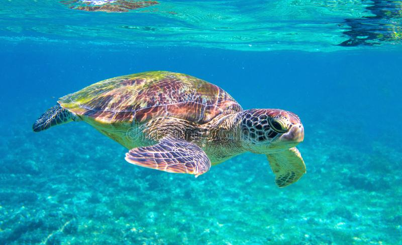 Cute sea turtle in blue water of tropical sea. Green turtle underwater photo. Wild marine animal in natural environment. Endangered species of coral reef stock image