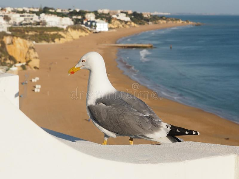 A cute seagull in front of Albufeira beach at the Algarve coast of Portugal royalty free stock photo