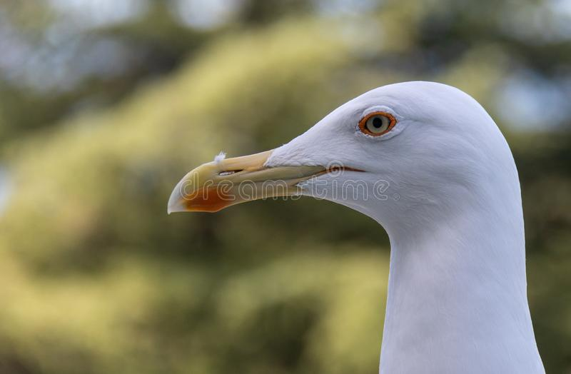 This cute seagull shows her beautiful white profile of her head stock photography