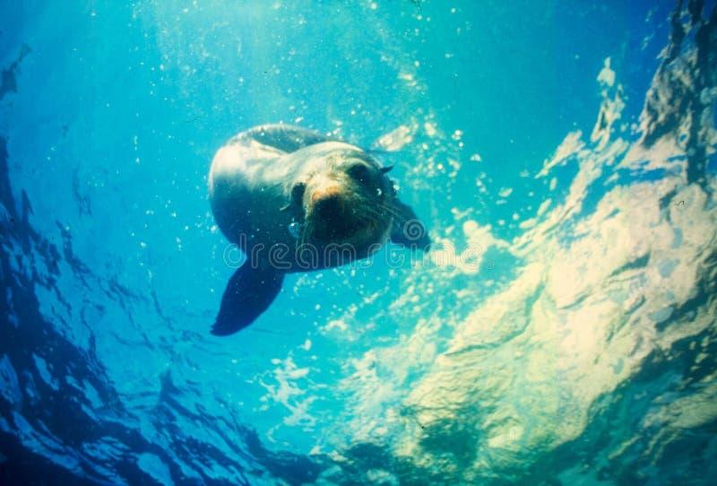 Cute Seal Swimming Ocean Australien Sealife arkivfoton
