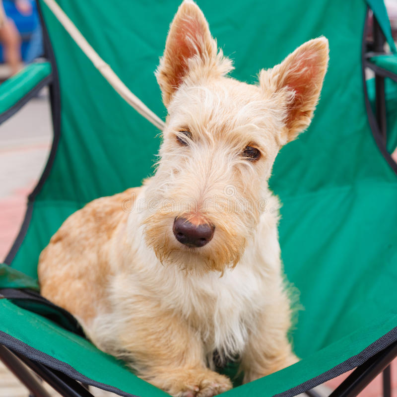 Cute serious Wheaten dog Scottish Terrier breed stock photo