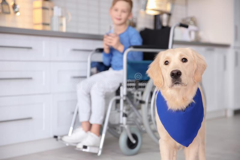 Cute service dog and blurred boy in wheelchair. Indoors royalty free stock photos