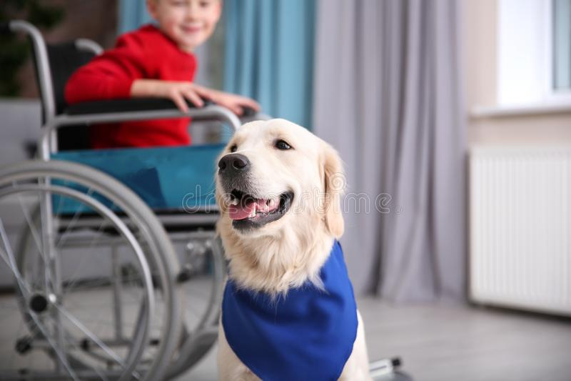 Cute service dog and blurred boy in wheelchair. Indoors stock image