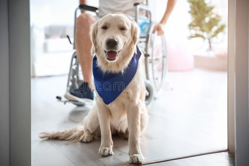 Cute service dog and blurred man in wheelchair,. View through door stock image