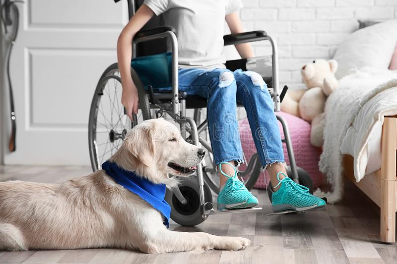 Cute service dog lying on floor near girl in wheelchair. Indoors stock photography