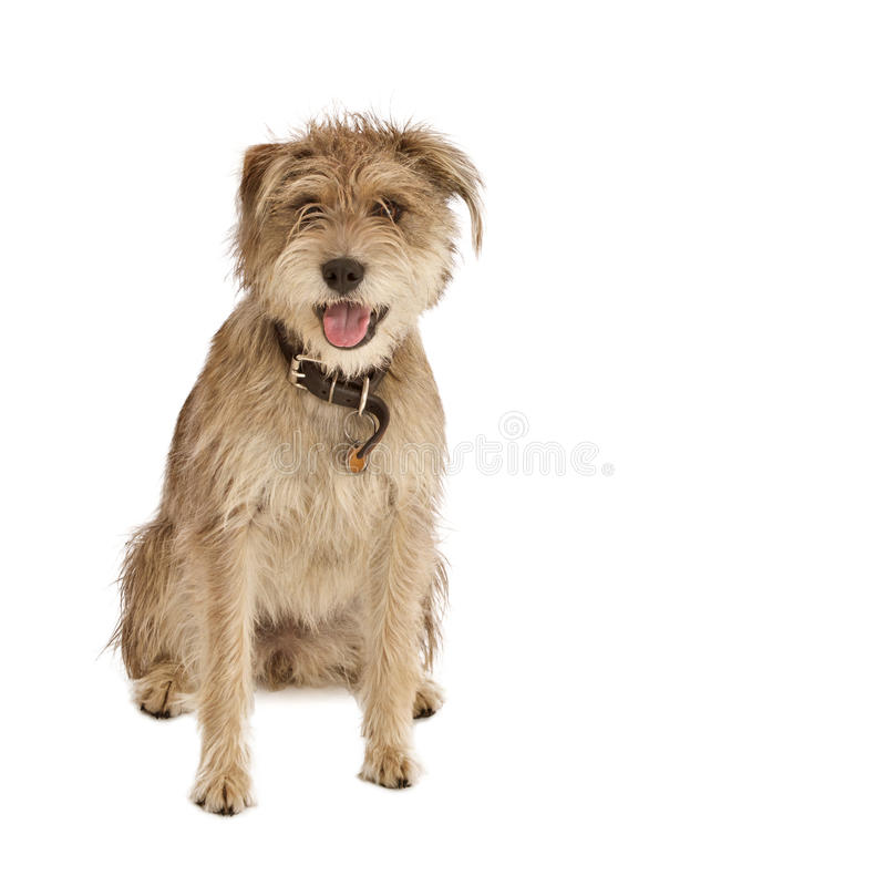 Cute shaggy dog with floppy ears. Cute shaggy mixed breed dog with a friendly expression sits facing camera. It has floppy ears, beige fur, and a dark leather stock image