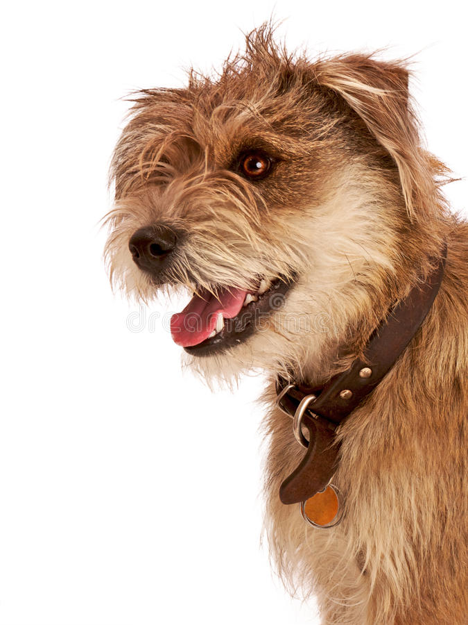 Cute shaggy dog with happy expression. Cute shaggy mixed breed dog with a happy, friendly expression. It has floppy ears, beige fur, and a dark leather collar stock photography