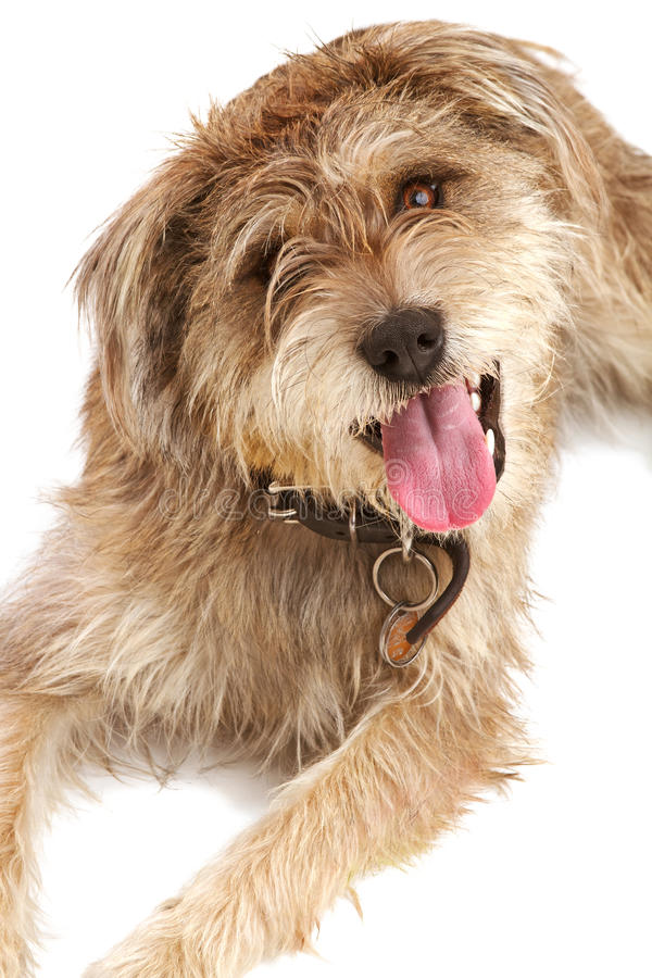 Cute shaggy dog looking up at you. Cute shaggy mixed breed dog with a friendly expression sits looking up at camera. It has floppy ears, beige fur, and a dark royalty free stock photography