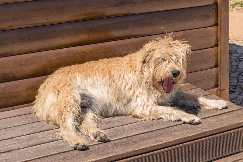 Shaggy dog at rest, Fuseta, Portugal. A cute shaggy dog at rest with its tongue showing on the waterfront in Fuseta, Portugal royalty free stock photo