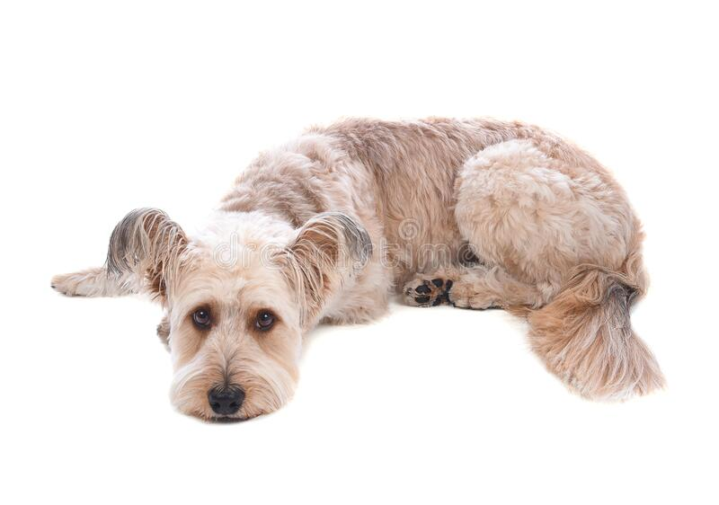 A cute shaggy mixed breed dog laying down on a on white background royalty free stock image