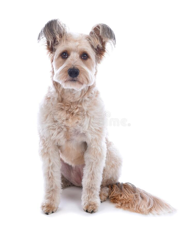 A cute shaggy mixed breed dog on white stock photos