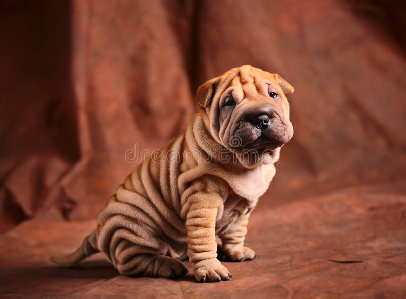 Cute sharpei puppy royalty free stock photos