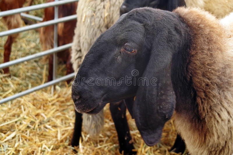 Portrait of cute sheep. With black head stock photos