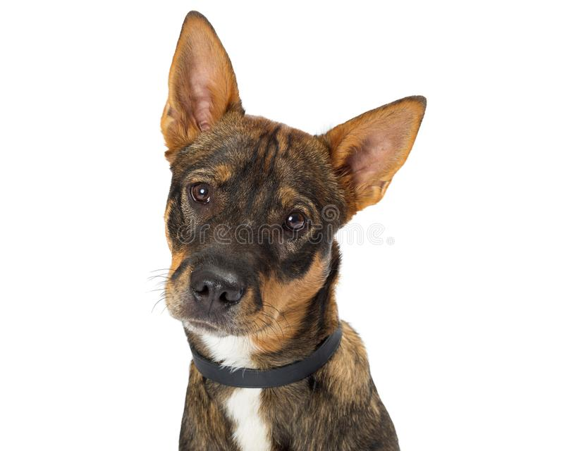 Cute Shepherd Crossbreed Closeup Looking. Cute mixed breed Shepherd young dog looking into camera. Closeup of face with head tilted royalty free stock photography