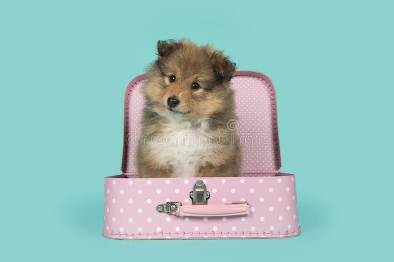 Cute shetland sheepdog puppy in a pink suitcase looking at the camera on a blue background royalty free stock image