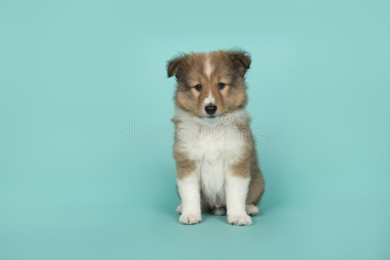 Cute shetland sheepdog puppy sitting on a blue  background looking at the camera. A cute shetland sheepdog puppy sitting on a blue  background looking at the stock images