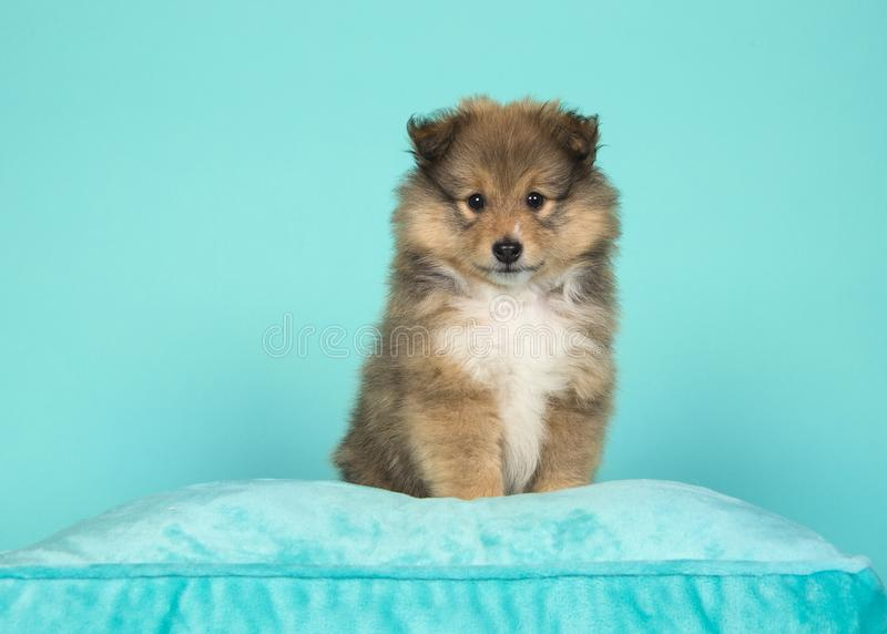 Cute shetland sheepdog puppy sitting on a blue cushion on a blue background. Looking at the camera royalty free stock photo