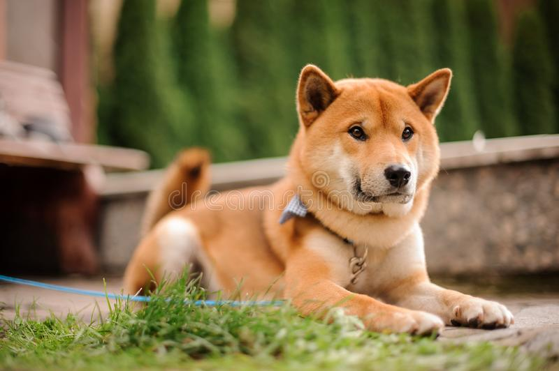 Cute Shiba Inu in the blue butterfly on the leash lying on the walkway stock images
