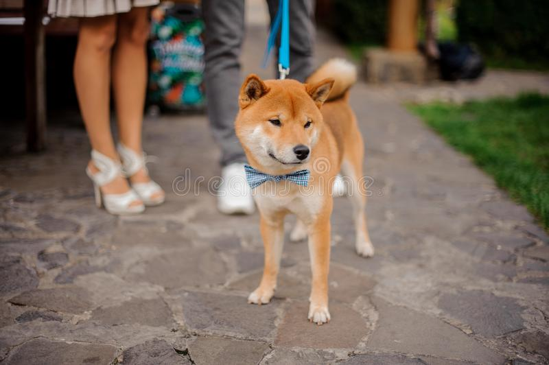 Cute Shiba Inu in the blue butterfly on the leash royalty free stock images