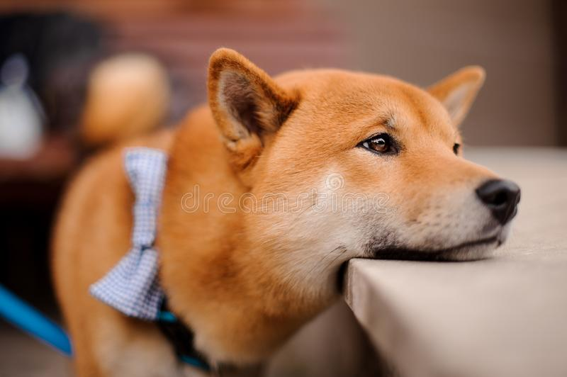 Cute Shiba Inu in the blue butterfly on the leash standing putting a head on the stone stock photo