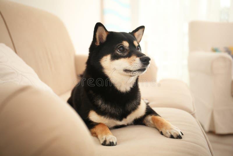 Cute Shiba inu dog on sofa royalty free stock image