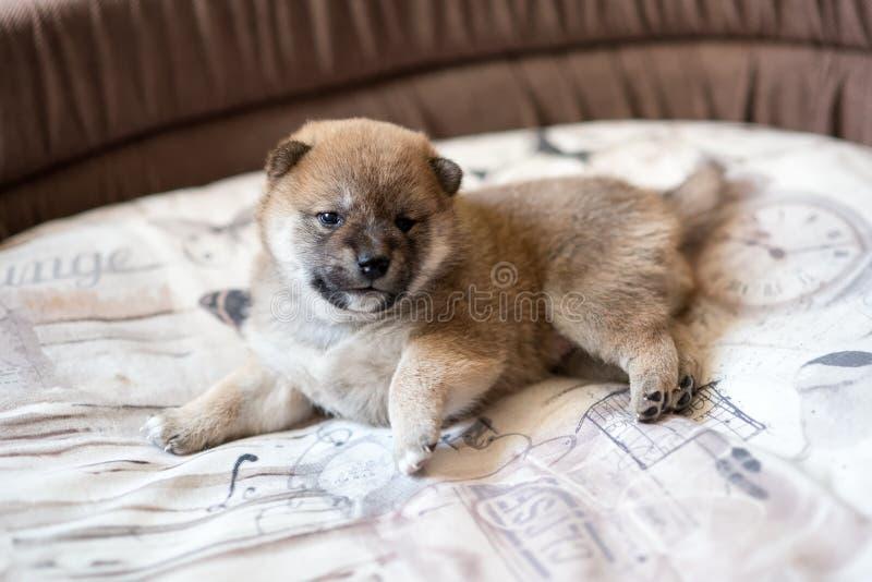 Cute Shiba Inu puppy dog. Side view of cute Shiba Inu puppy dog lying in basket stock photos
