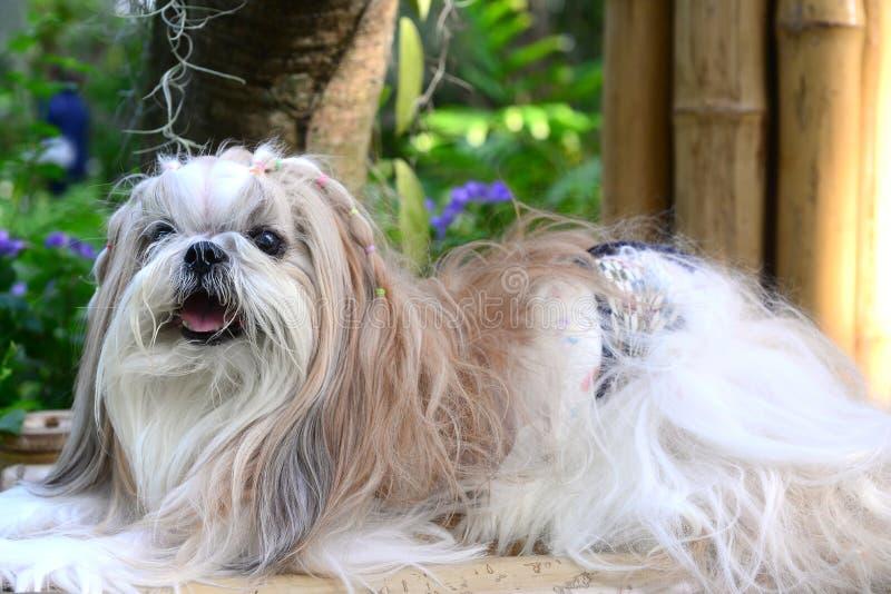 Cute Shih Tzu dog with long groomed hair. Cute  Shih Tzu dog with long groomed  hair in the garden stock photo