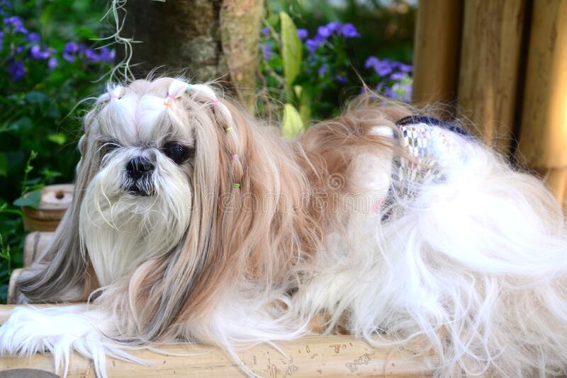 Cute Shih Tzu dog with long groomed hair. Cute  Shih Tzu dog with long groomed  hair in the garden stock images