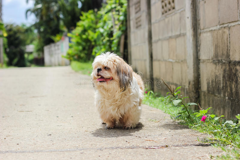 Cute Shih tzu dog walking. On the road royalty free stock images