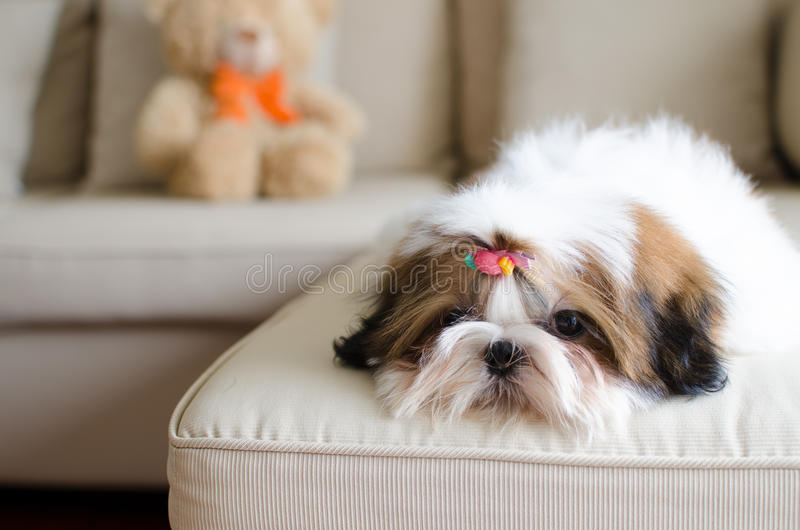 Cute shih tzu puppy is crouching. On sofa royalty free stock image