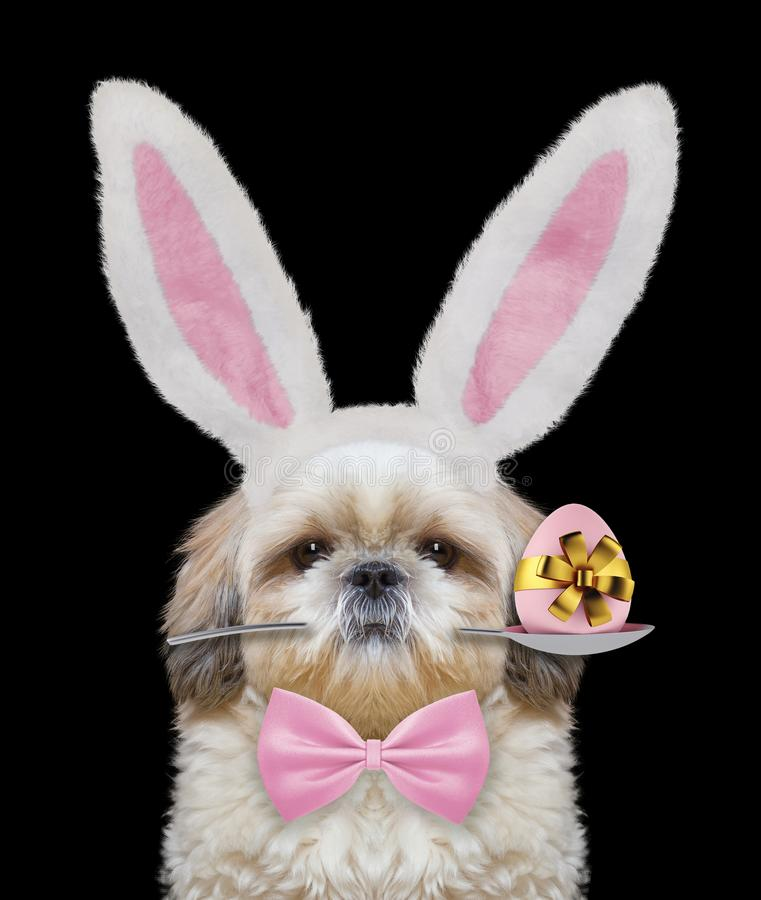 Cute shitzu dog with rabbit ears and easter egg. Isolated on black. Background stock image