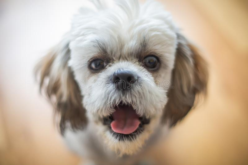 Cute Shitzu puppy. royalty free stock images