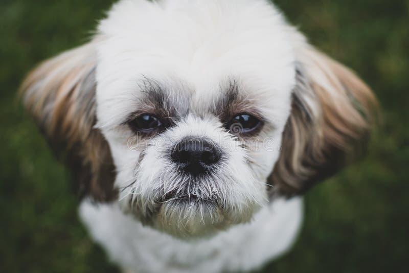 Cute Shitzu puppy. stock images