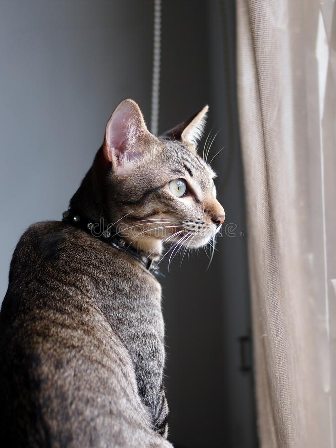 Cute short hair young asian kitten grey and black stripes. Home cat relaxing lazy at a window indoor portrait shot selective focus with shading white wall and royalty free stock photo