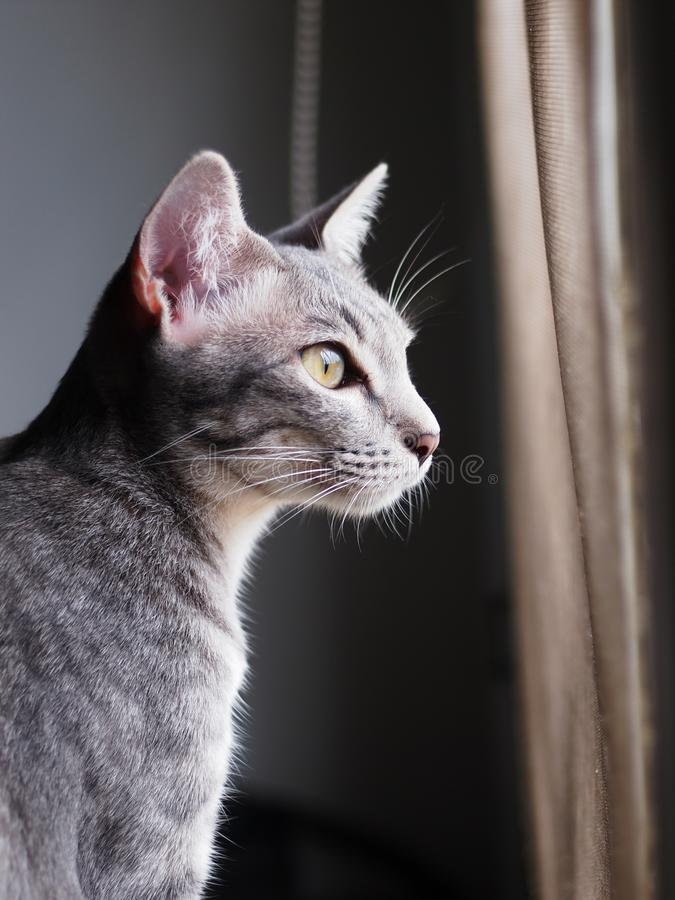 Cute short hair young asian kitten grey and black stripes. Home cat relaxing lazy at a window indoor portrait shot selective focus with shading white wall and stock photo