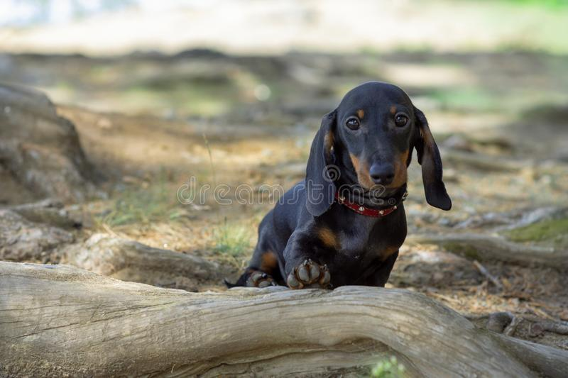 Cute and shy wire-haired miniature dachshund puppy posing for the photographer royalty free stock photography