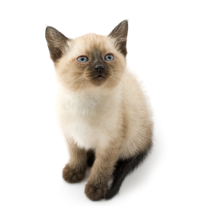 Cute siamese kitten. Si isolated on white stock images