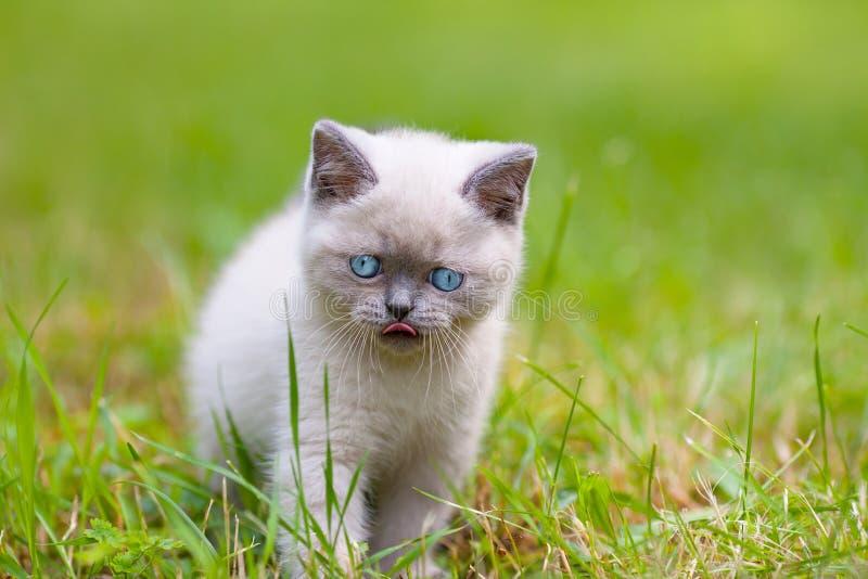 Cute siamese kitten royalty free stock photo