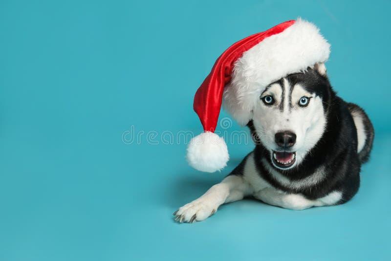 Cute Siberian Husky dog in Santa hat on blue. Space for text. Cute Siberian Husky dog in Santa hat on blue background. Space for text stock images