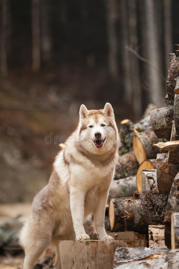 Cute Siberian Husky dog standing on firewood in the forest. Beautiful dog with beige and white coat stock photo