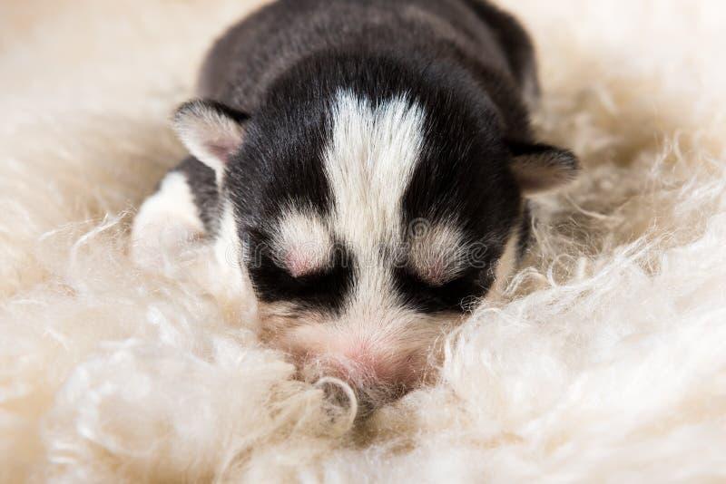 Cute siberian husky puppies sleeping on white stock photo