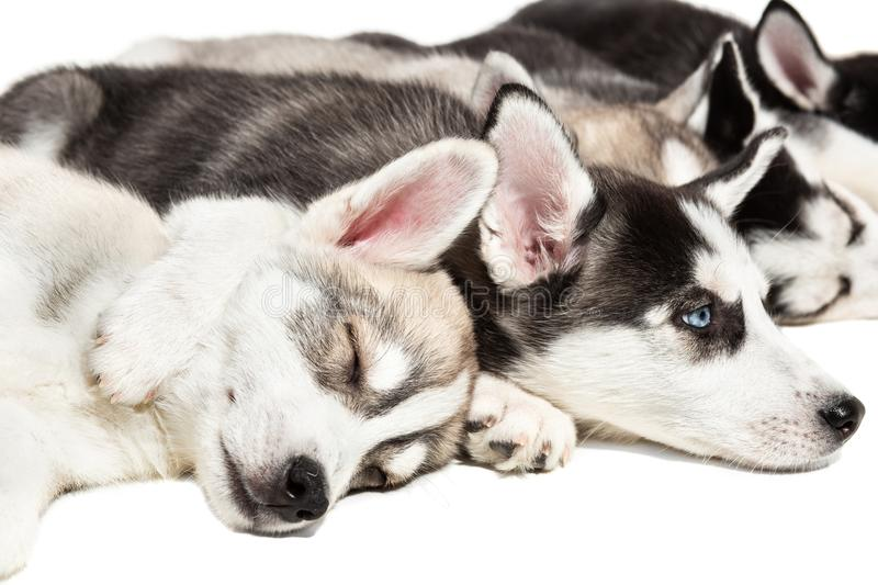 Cute Siberian husky puppies on white background. royalty free stock photography