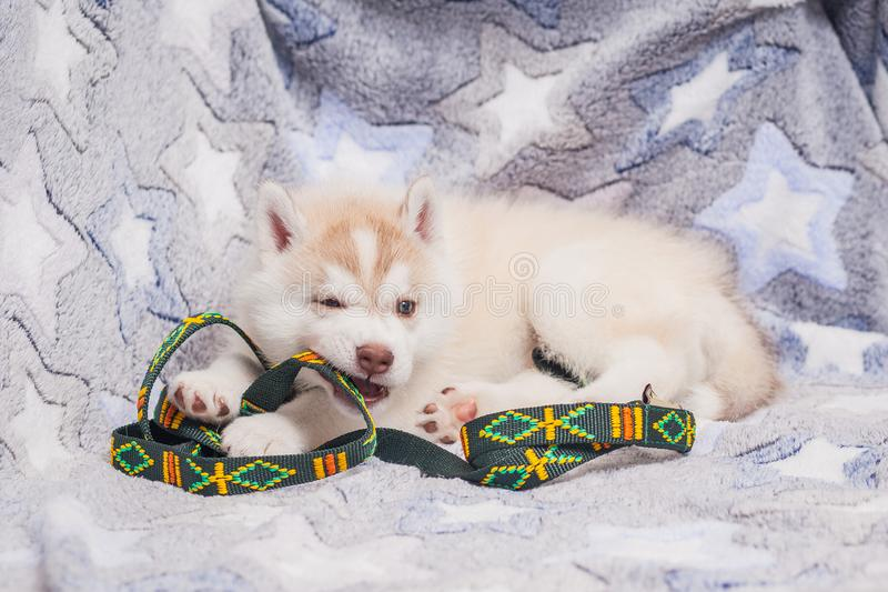 Cute Siberian husky puppy beautiful. 2 month old royalty free stock images