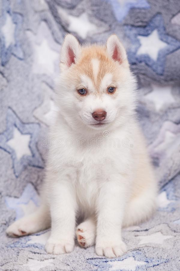 Cute Siberian husky puppy beautiful. 2 month old stock photography