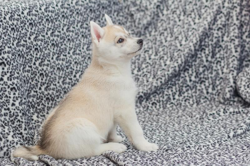 Cute Siberian husky puppy beautiful. 2 month old royalty free stock photo